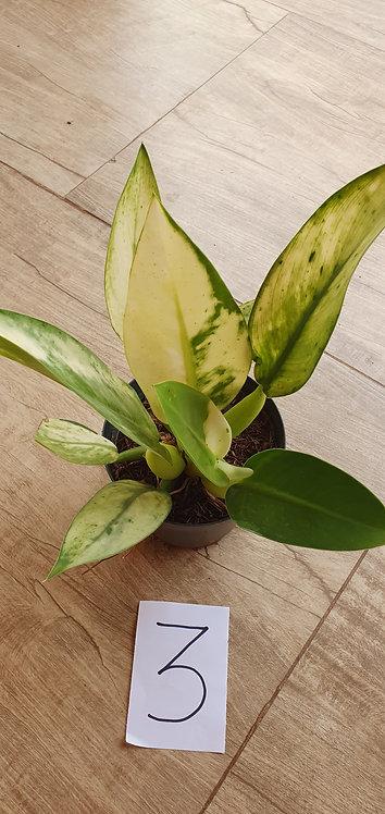 6021s-philodendrum pacova variegata