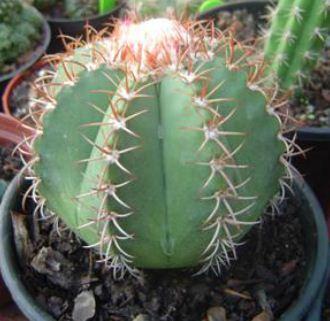 91C  Melocactus Matanzanus