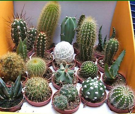 88C Mix de 12 Cactus