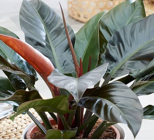 Philodendron imperial red -  muda adulta