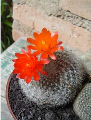 15C Brasilicactus haselbergii