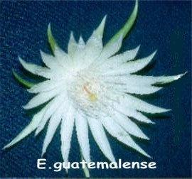 18E- Guatamalensis