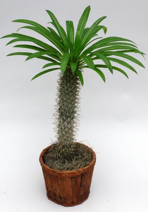 64C-Pachypodium lamery mandacasriense