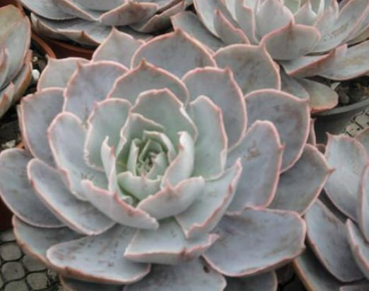 53S Echeveria mornig light