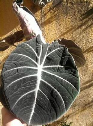 4S Calocasia Black