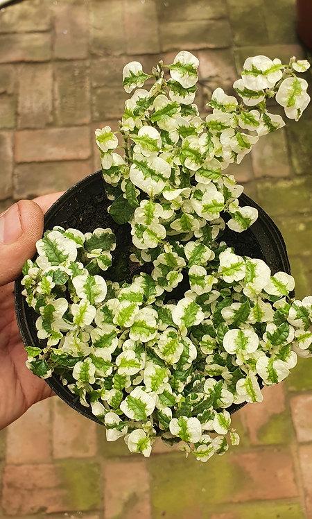 Hera variegata-unha de gato