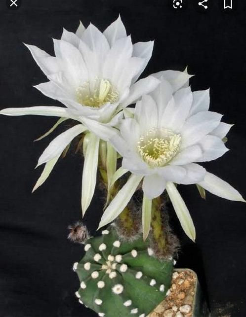 24C Echinopsis subdenudata