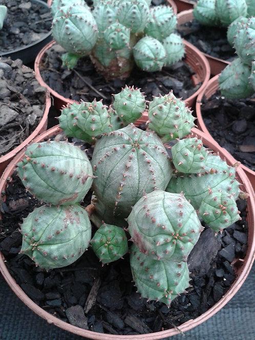 189c -Euphorbia pseudoglobosa