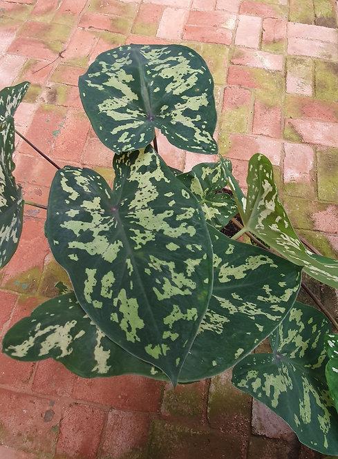 7083s-Xanthosoma maculata