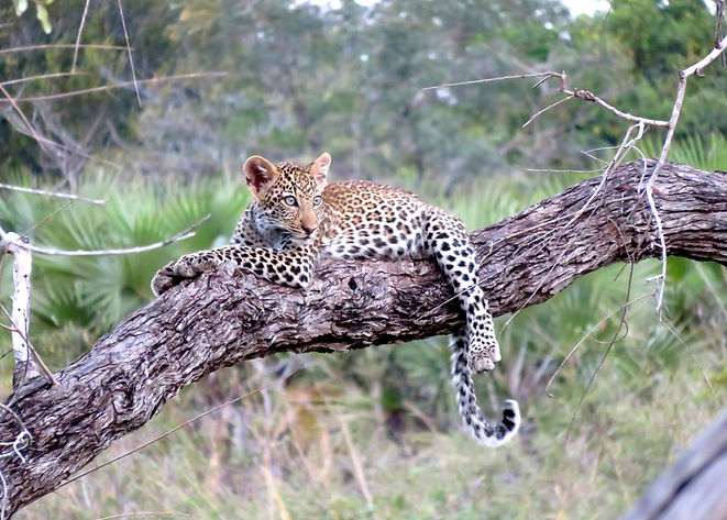 leopard-youngster.jpg