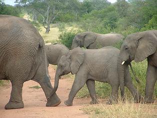 elefantes kruger.JPG