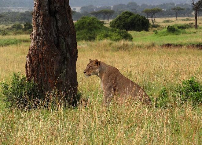 Leona en el Masai Mara.JPG