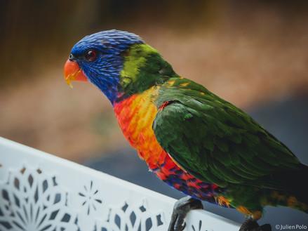 Elanora (Australie)