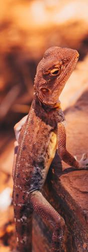 Lezard - Parc national de Karijini Australia