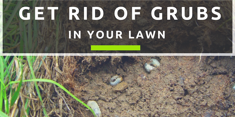 Getting Rid Of Grubs In Your Lawn