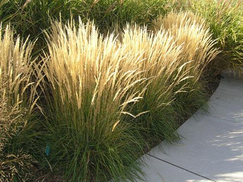 Reed Grass