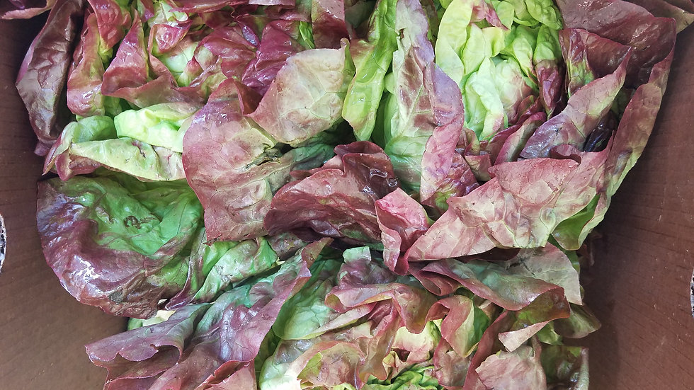 Red Butter Lettuce by the pound