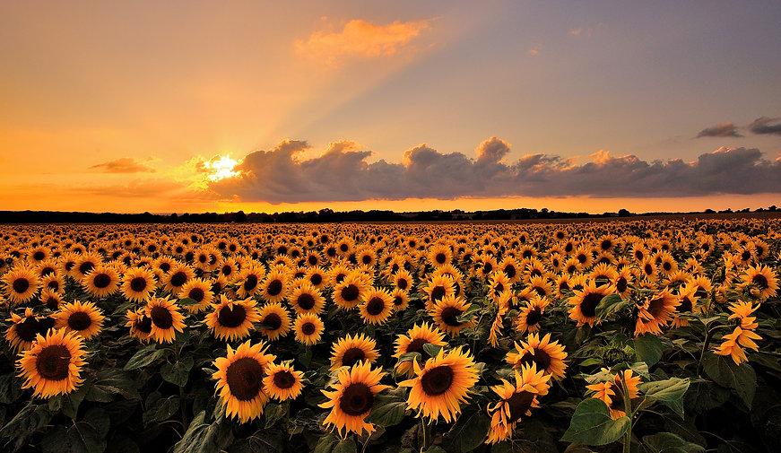 sunflowercrop.jpg