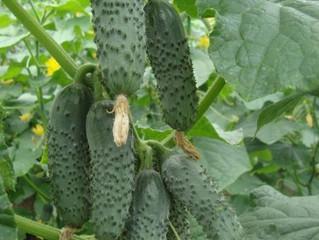 Tehnologia ecologica de cultivare a castravetilor