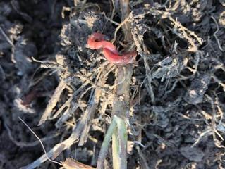 Efectul pesticidelor asupra râmelor.