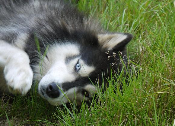 Poster (grand)  Husky Ice wolfs
