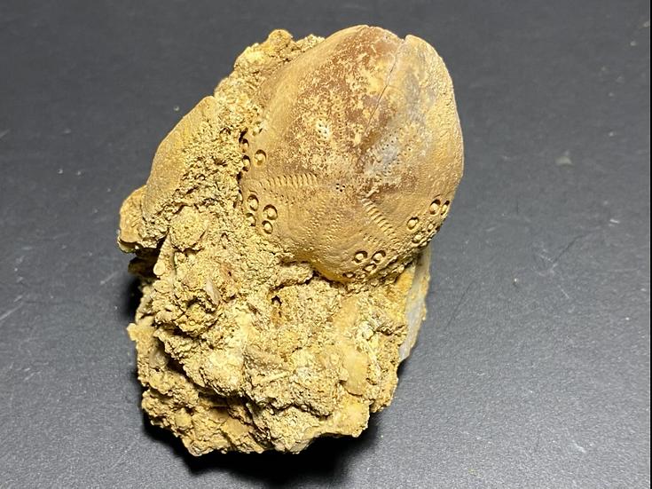 Fossil Sea urchin- Mannum