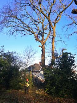 Oak dismantle | West London