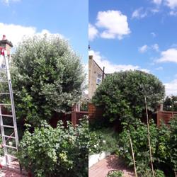 Pruning | Brentford