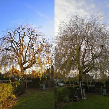Willow Reduction. Tree surgery | West London