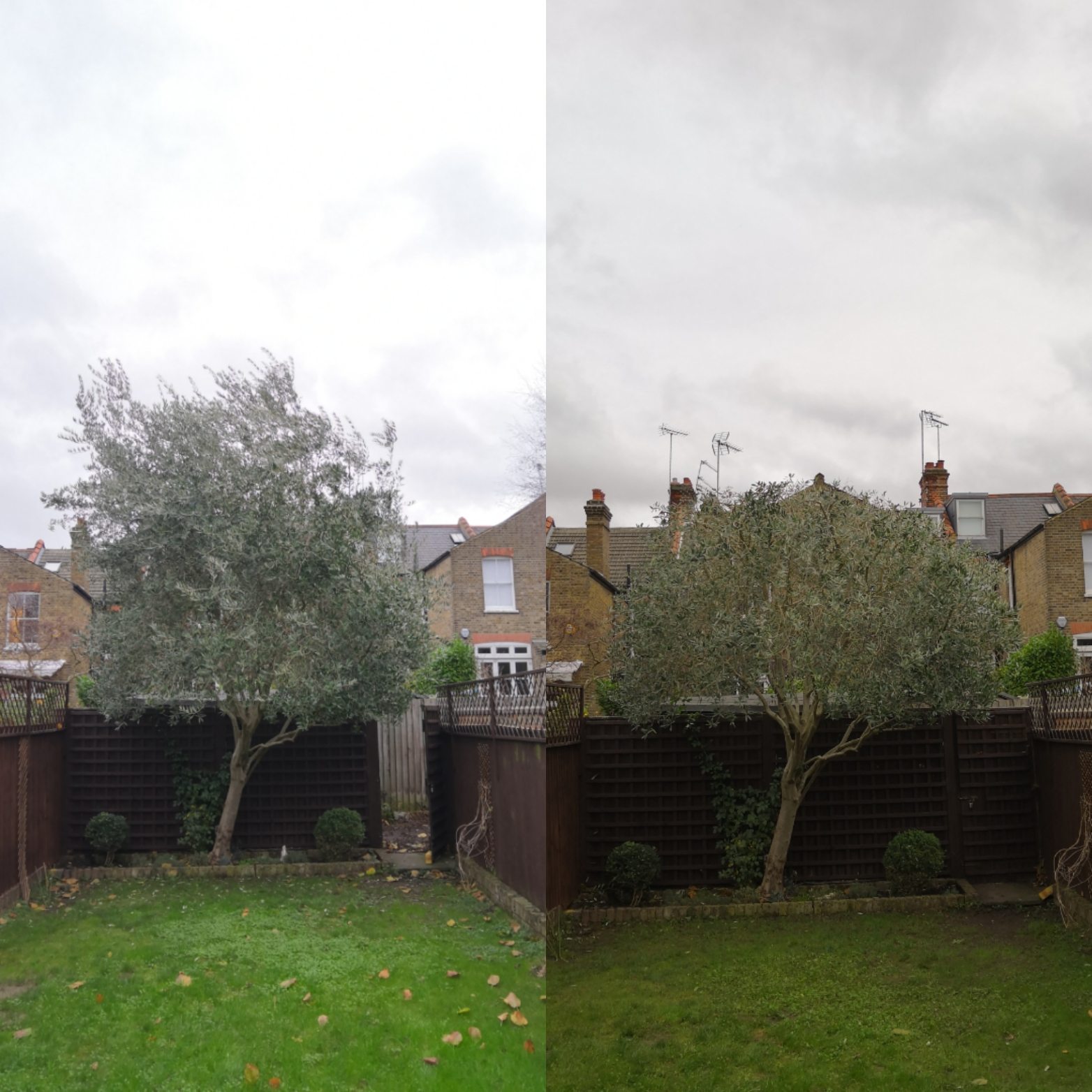 Olive tree reduction | West London