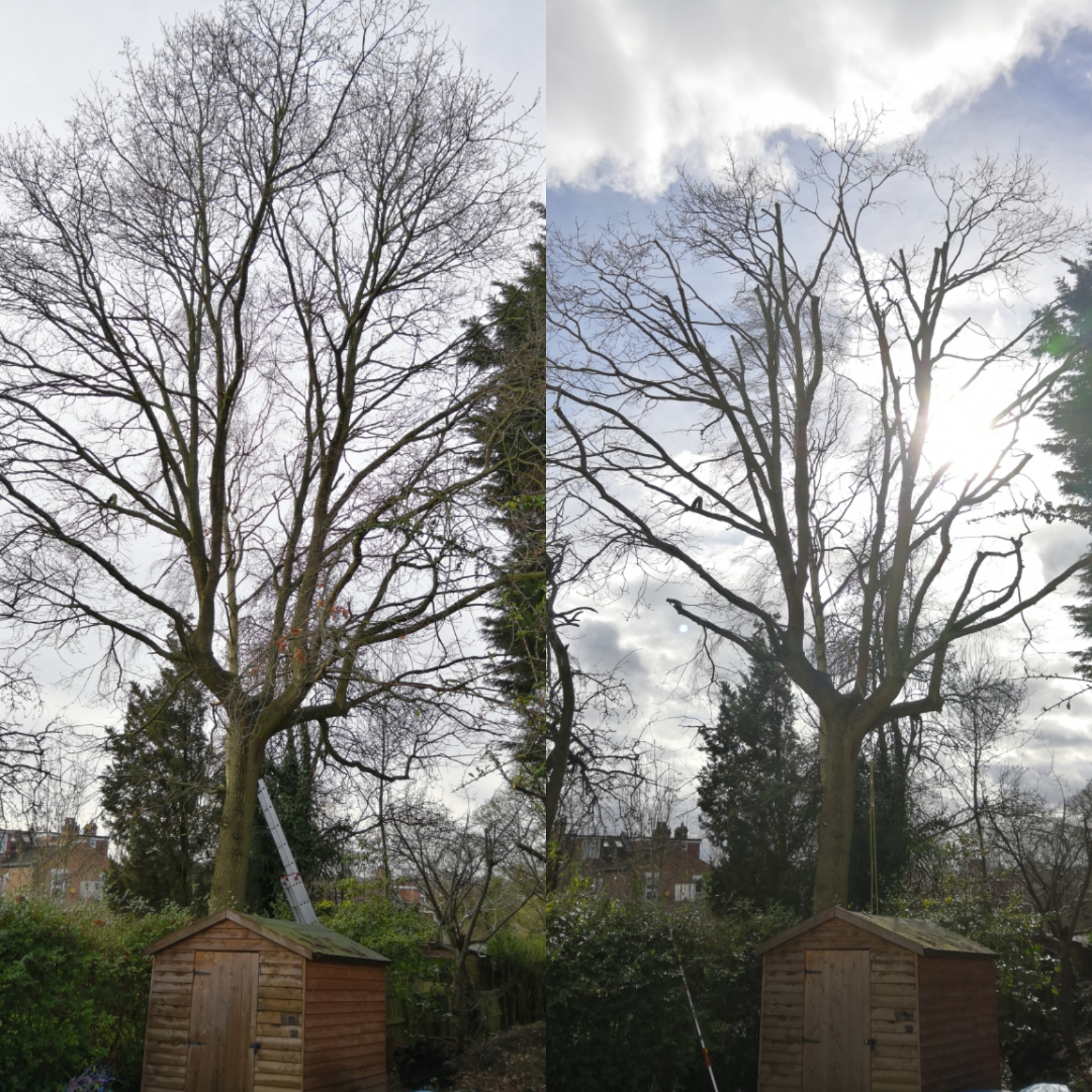 Large Oak Tree Reduction