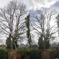 Large Oak Tree Reduction
