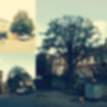 Lime tree | tree pruning | West London