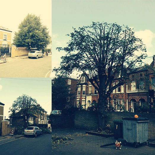 Lime tree | tree pruning | West London