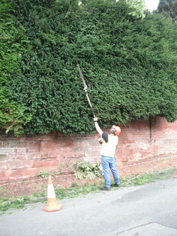 Yew hedge trim