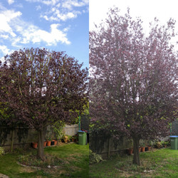 Plum Tree Reduction | West London
