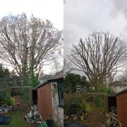 Large Oak reduction | West London