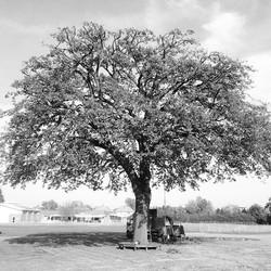 English Oak Tree, stunning