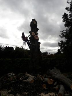Beech Tree Fell | West London