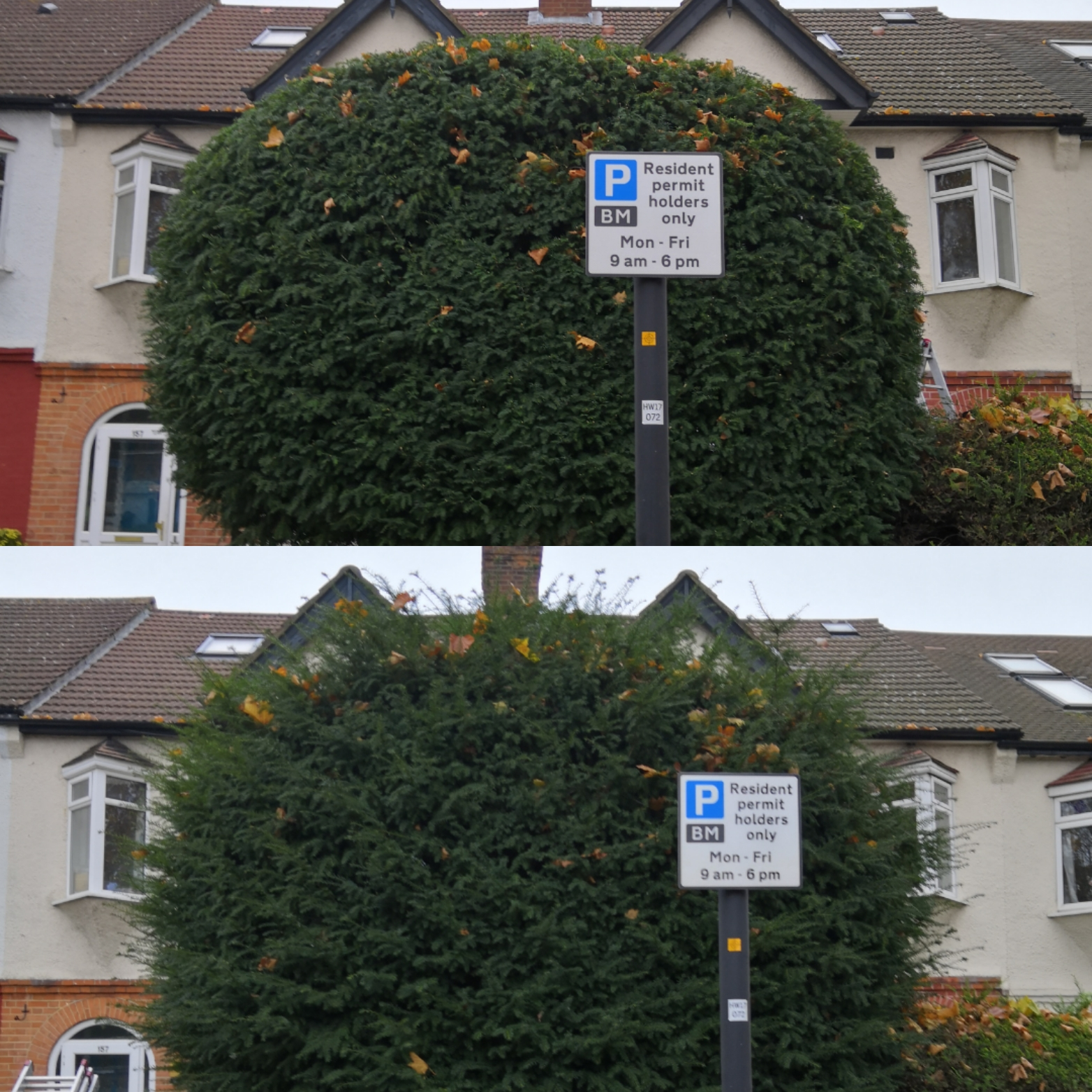 Yew hedge trim | West London