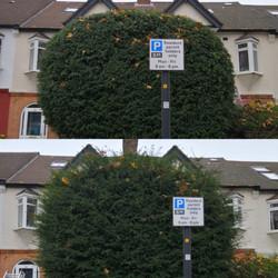 Yew hedge trim | West London