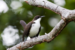 St. Lucian White-Breasted Thrasher