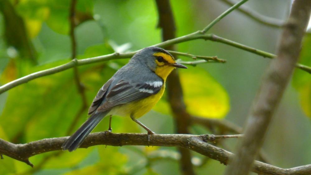 St. Lucian Warbler