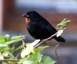St. Lucian Black Finch