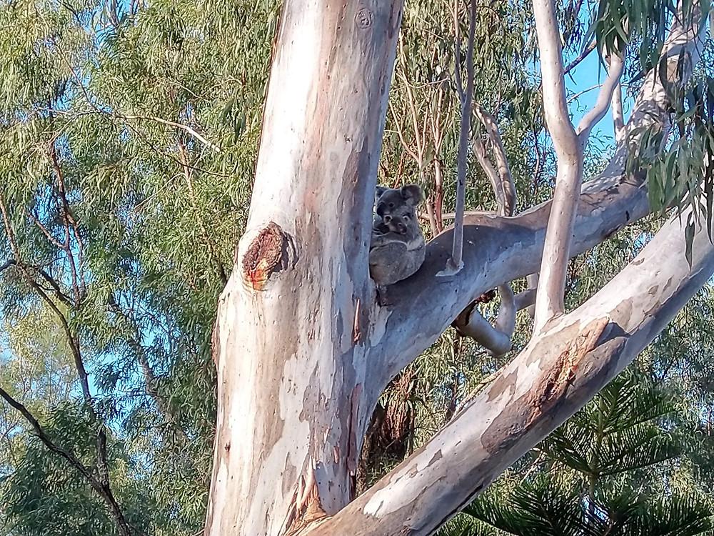 Koala in tree with joey