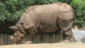 Good News for a Change: Return of the Indian Rhino