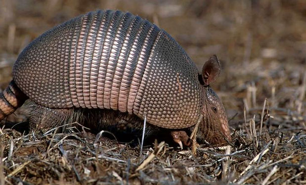 Competition A - for Armadillo.jpg