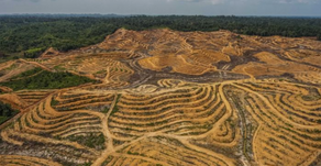 The Vexing Problem of Sourcing Sustainable Palm Oil