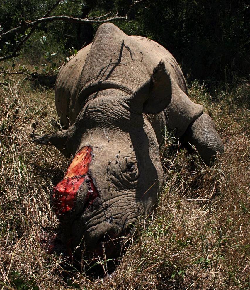 Rhino victim of poaching