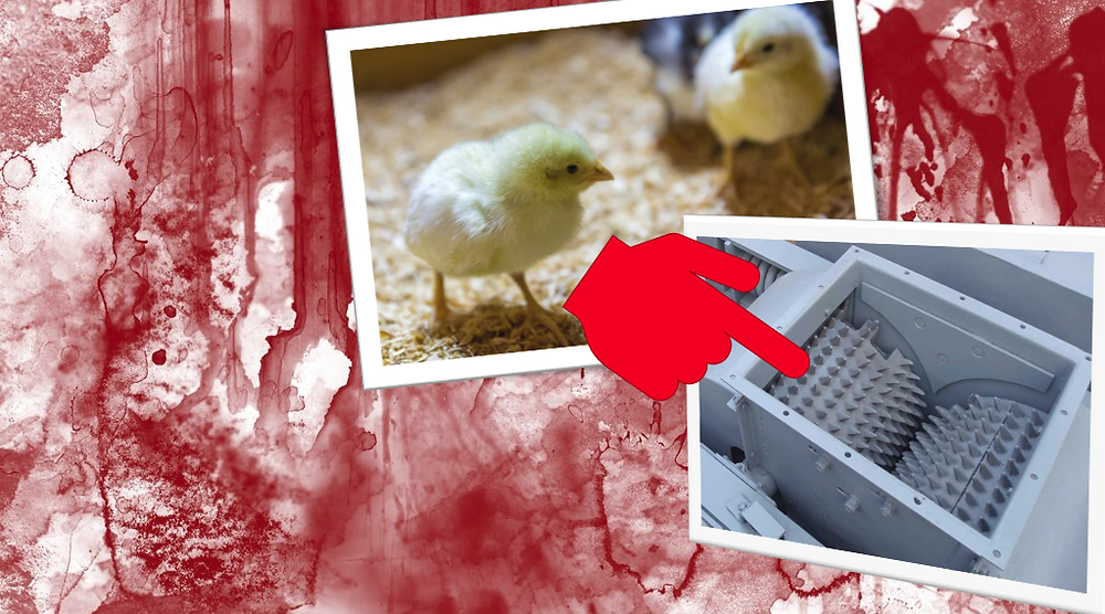 The killing of male chicks: an ethical nightmare we can't escape.